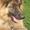 вязка для кобеля немецкой овчарки #345518
