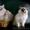 продам, сибирские котята #365766