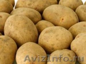 Семенной картофель из Беларуси в Кемерово - Изображение #1, Объявление #1496690