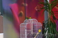 Продам пару попугаев-неразлучников