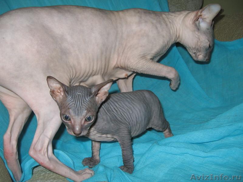 планируете одевать купить недорнедо котенка сфинска кожа