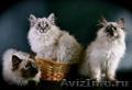 продам, сибирские котята