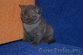 Шотландские котята Скоттиши