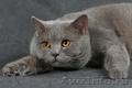 британский кот голубого окраса.т. 89516100604