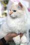 невские маскарадные котята редкого окраса