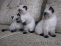 Первый помет гималайских котят в Кемерово