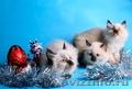 невские маскарадные котята от титулованных производителей