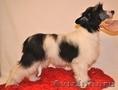 Продам щенка китайской хохлатой собаки