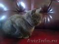 отдам в добрые руки котят сибирской породы