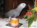 """Говорящий попугай """"Жако"""", Объявление #1452969"""